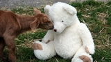 Before coming to Puget Sound Goat Rescue, Millie was best friends with her teddy bear. They were abandoned in a box together. (Photo courtesy Puget Sound Goat Rescue).