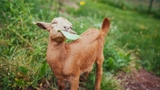 """""""Millie is a little queen bee, sassy and full of personality,"""" Sarah Klapstein with the Puget Sound Goat Rescue says. (Photo courtesy Puget Sound Goat Rescue)."""