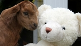 Puget Sound Goat Rescue plans to gift Millie's bear to her new family when she is adopted. (Photo courtesy Puget Sound Goat Rescue).