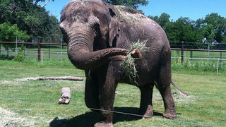 Seattle elephant Bamboo attacked at new zoo
