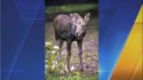 Orphaned moose calf meets new herd mates at Northwest Trek