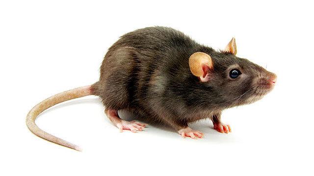 Image result for rat