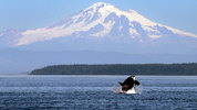 FILE - In this July 31, 2015, file photo, an orca whale breaches in view of Mount Baker, some 60 miles distant, in the Salish Sea in the San Juan Islands, Wash. Two females and a 10-month old calf are believed gone. (AP Photo/Elaine Thompson, File)