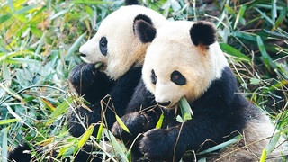 The History of the Chinese Gold Panda - In a Nutshell