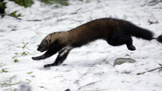 Rare weasel returns to historic range in Washington state