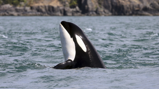 Killer whales could have quiet space off Washington
