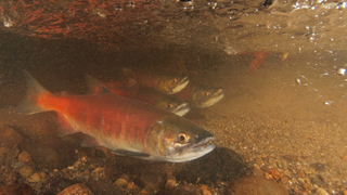 Only 60-70 kokanee in local creeks compared to nearly 6,000 year ago