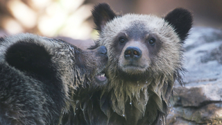 Feds seeking input on North Cascades grizzly bear plan