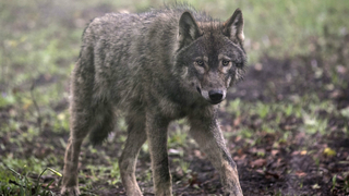 Wash. bill advances that would exempt some info about wolf attacks