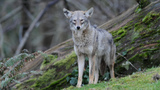 PHOTOS: Coyote spotted in Seattle's Magnolia… - (1/3)