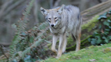 PHOTOS: Coyote spotted in Seattle's Magnolia… - (3/3)
