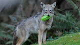 PHOTOS: Coyote spotted in Seattle's Magnolia… - (2/3)