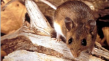 Deer mouse: Determined to be one of the reservoirs and transmitters of the hantavirus.
