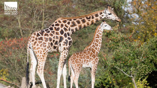 Woodland Park Zoo giraffe expecting first baby