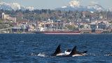PHOTOS: Orcas seen in Elliott Bay on a sunny… - (2/51)