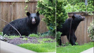 Black bear spotted in populated area of Snohomish