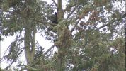 Washington Fish and Wildlife Department tried to get a black bear down from a tree near a Renton elementary school for hours on May 17, 2017.