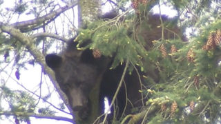 New eastside residents could be attracting bears, biologist says