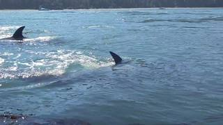 VIDEO: Orcas emerge around woman paddle boarding near Deception Pass