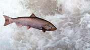 FILE: A Chinook Salmon Leaps Through White Water May 17, 2001 In The Rapid River In Idaho As It Attempts To Clear A Migration Barrier Dam. (Photo By Bill Schaefer/Getty Images)