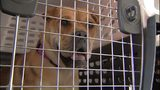 VIDEO: Dozens of dogs from Houston arrive at Boeing Field