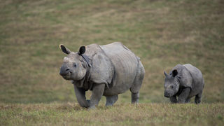 Rhinos coming to Seattle for first time in zoo