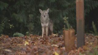Coyotes threaten pets north of Ballard