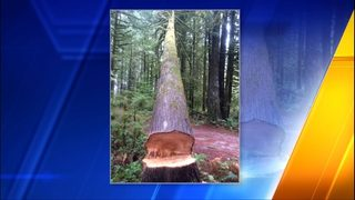 Attempted timber theft in Snohomish County baffles park officials
