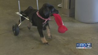 Social media helps paralyzed puppy at Everett shelter get set of wheels
