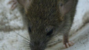 File photo: Rat in suburb of Vancouver. Photo via Wikimedia Commons user Earth's buddy.