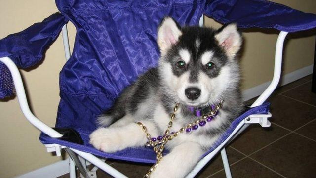 next uw mascot puppy needs home caretaker kiro tv