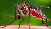 Mosquito file