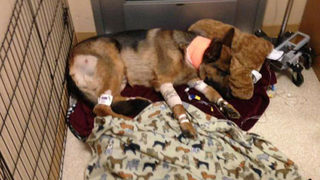 Hero dog takes bullet for teenager in Des Moines home invasion
