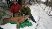 Biologist from Washington State Fish and Wildlife caught, tagged nearly 200-pound cougar. A GPS collar was placed on animal's neck March 5, as part of a predator-prey research study.  (Washington State Department of Fish and Wildlife/Katie Kern)