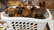 Among the pets transferred will be 5 Hound mix puppies.