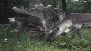 Biologist says caribou herd may be extinct