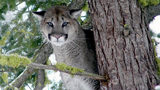 (Photo by Rich Beausoleil.) Picture of mountain lion from Washington Department of Fish and Wildlife.