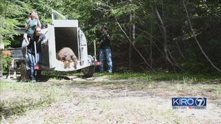 PAWS releases once-malnourished bear back into the wild