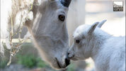Bluebelle, a mountain goat at Woodland Park Zoo, gave birth Saturday to her first kid. The unnamed baby is a female and currently weighs 10 pounds.