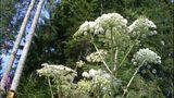 VIDEO: Giant Hogweed spotted in Seattle