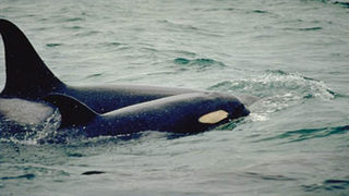 Federal lawsuit filed to increase protections for southern resident orcas beyond Puget Sound