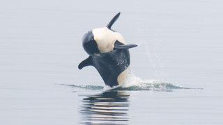 PHOTOS: Orcas swim in the Puget Sound near the shore of Edmonds
