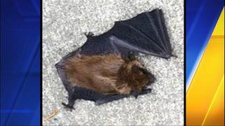 2 rabid bats found on sidewalk in Auburn