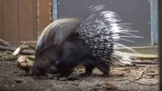 African porcupine eluded capture on Spanaway streets for over a year