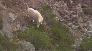 PHOTOS: Chopper 7 finds mountain goats on Mount Si