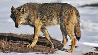 Wolf war howls between western and eastern Washington