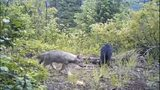 VIDEO: Wolves in Western Washington are being tracked