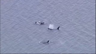 $742,000 grant awarded to endangered Puget Sound orcas