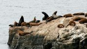 Photo: Calibas / Wikimedia Commons This photo is of California Sea Lions, not the sea lions located in West Seattle.