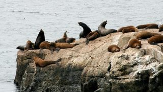 Congress OKs bill to allow killing sea lions to help salmon